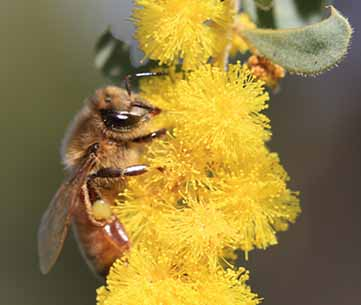 Bee on wattle
