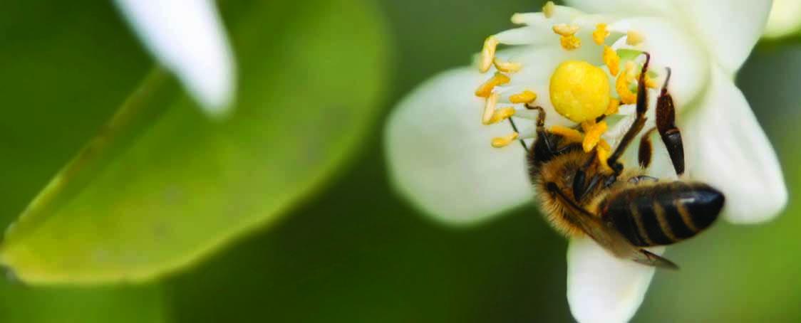 Honey-bee-on-orange-flower