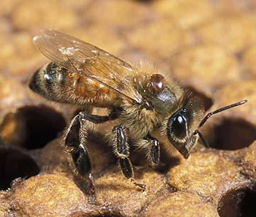 Varroa mite 2