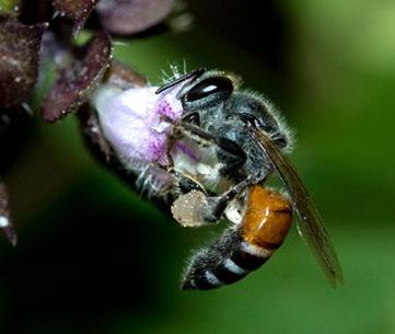 Zachary Huang, Michigan State University, www.bees.msu.edu