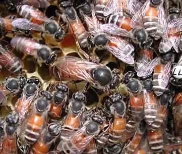 Dwarf honey bees « Bee Aware