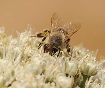 Kathy Keatley Garvey, UC Davis Department of Entomology