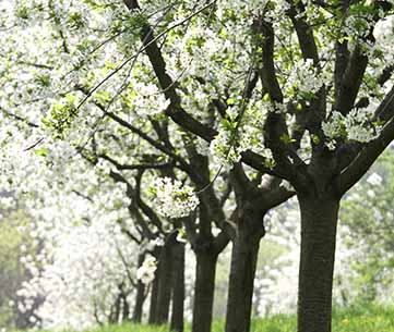 Cherry orchard in bloom. iStock