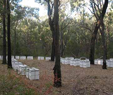 Apiary site in an ironbark forest