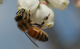 Honey bee on blueberry2