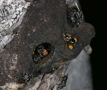 Wild Austroplebeia nest. Jenny Thynne, www.bowerbird.org.au