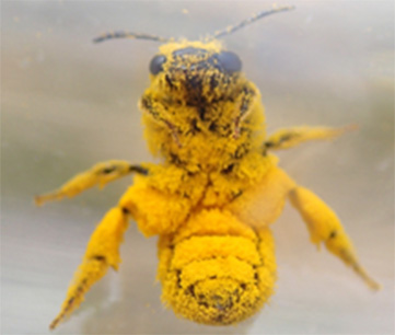 Bee covered in pollen
