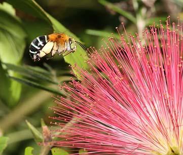 Foraging native blue banded bee (Amegilla sp.). Jenny Thynne, www.bowerbird.org.au