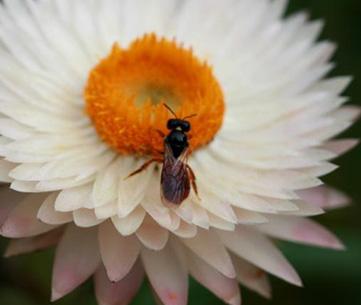 Native Exoneura bee foraging on a paper daisy. Melanie Bottrill