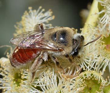 Native Leioproctus sp. foraging on eucalypt. www.bowerbird.org.au