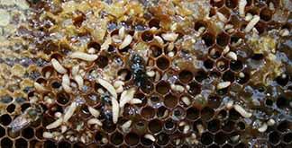 small hive beetle 11