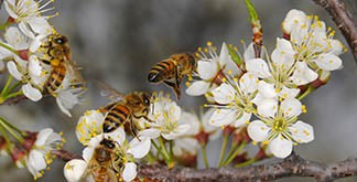 Bees on blossom