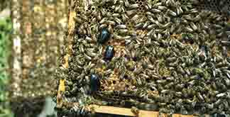 Large hive beetle